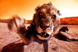 Les lions de njombe images-7