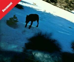 La bête des vosges selon-le-photographe-et-specialiste-du-monde-animal-l-image-est-bien-celle-d-un-loup-photo-pascal-300x250