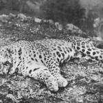 Le léopard de Panar sky20110413032935al1-150x150
